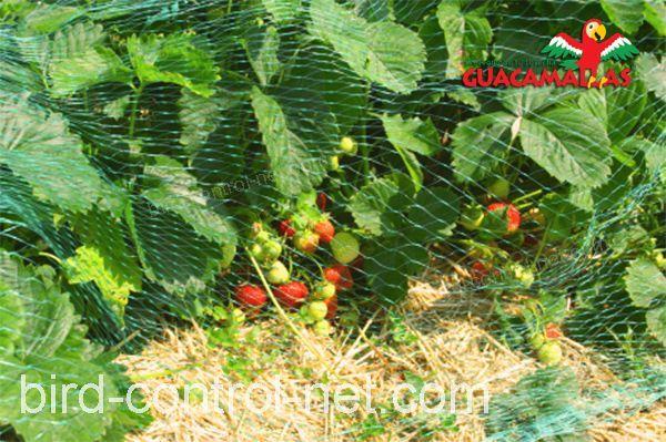 Bird control netting over strawberries.
