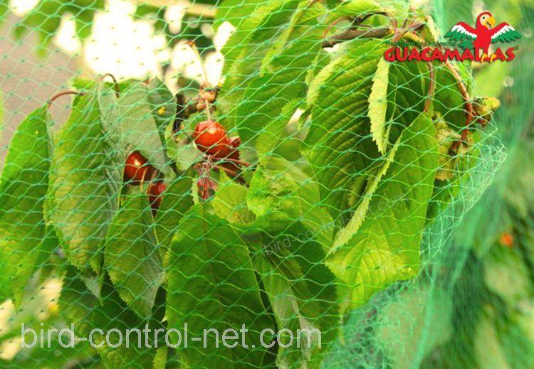 Cherries protected by anti bird netting.