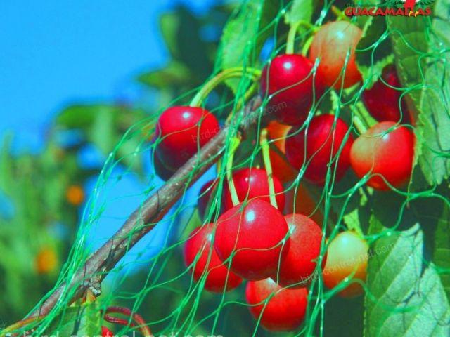 Bird control netting over cherries.